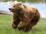 Tatry. Turyści spotkali niedźwiedzia na szlaku