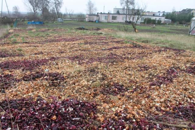 Cebulowe pola w Ciechocinie