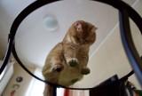 Spróbuj się nie wzruszyć! Oto najbardziej puszysty kot świata