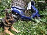 Kair, pies służący w częstochowskiej policji, znów wytropił skradziony pojazd. Skuter był ukryty na terenie pustostanu