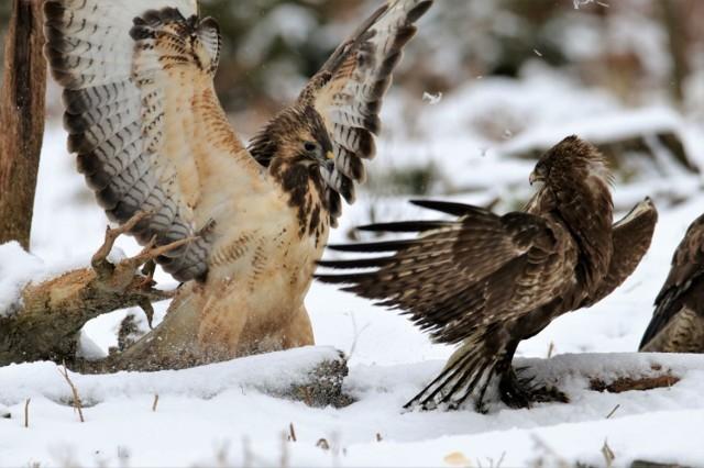 """Lech Jaworski, amator fotografii przyrodniczej z Goleniowa, """"ustrzelił"""" walczące na śniegu myszołowy"""