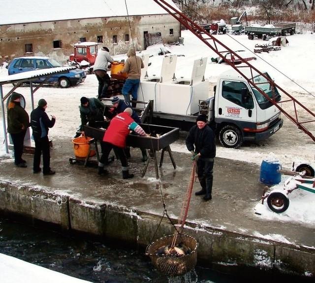 Ślisko, mokro i zimno – w takich warunkach odbywa się końcowy odłów karpi. Ryby na kilka sekund trafiają na sortownicę, później do samochodu z basenem