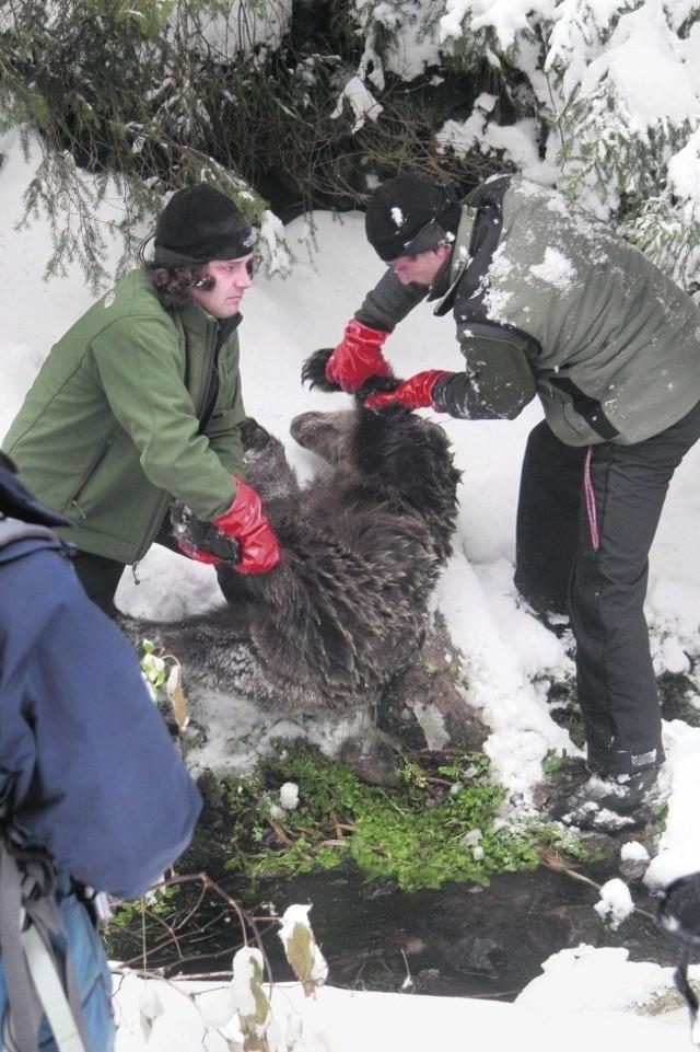 Zabitego misia znaleziono w DolinieChochołowskiej