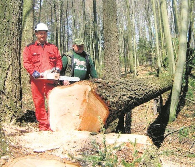 W ostrzyckich lasach wycięto daglezję na najdłuższą deskę świata
