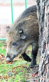 Wrocław: Dziki podchodzą coraz bliżej centrum miasta