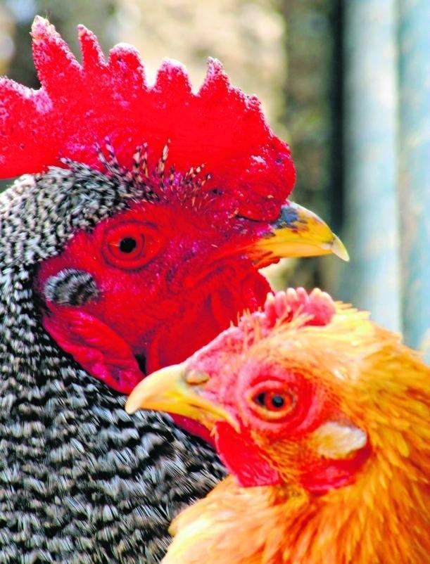 Brazylijskie i niemieckie kurczaki mogą wkrótce zastąpić polskie brojlery