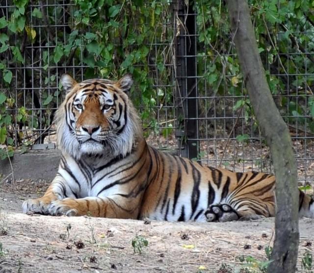 Tygrysy syberyjskie - są  największymi drapieżnikami na świecie. Dorosłe samce osiągają wagę ponad 200 kilogramów i są w stanie pokonać wielkiego niedźwiedzia. Zwinne, szybki, ale też skore do zabawy, szczególnie, kiedy na dworze są minusowe temperatury, latem raczej leniwe i ospałe. Mogą przespać nawet 20 godzin na dobę.