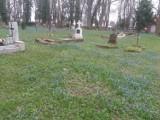 Morze cebulicy syberyjskiej zalało stary cmentarz w centrum Międzyrzecza. Delikatne roślinki porastają trawniki, ścieżki, groby…