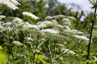 10 najbardziej niebezpiecznych roślin, które rosną w Polsce. Mogą nawet zabić!