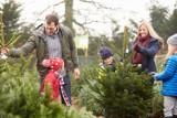Jaką choinkę wybrać na Boże Narodzenie? Jodła, daglezja czy świerk? Ile kosztują drzewka? [CENY, ODMIANY]