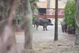 Cztery dziki odstrzelone w Poznaniu. Na osiedlu Piastowskim, w Antoninku i na Umultowie miały zagrażać mieszkańcom