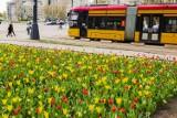 Stolica wiosną. Na ulicach rozkwitły tysiące tulipanów w kolorach Warszawy