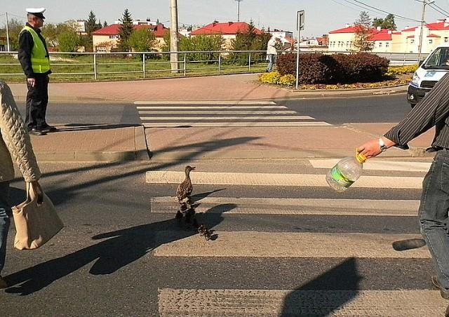 Policjanci pomogli kaczkom przejść przez ulicę