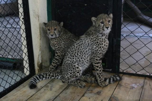 Rodzina gepardów staje się pomału znakiem firmowym ogrodu. To teraz najczęściej wykorzystywane zwie-rzęta w działaniach marketingowych Cztery małe koty przyszły na świat we wrześniu zeszłego roku. Ich rodzice to Iwan i Yahti. Na początku samiec nie był wpuszczany do młodych, bo nie było wiadomo, jak zareaguje. Imiona dla młodych gepardziątek: Frela, Edi, Oskar i Atos wybrali nasi Czytelnicy.