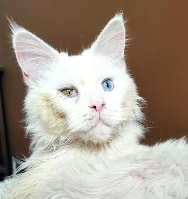 4-letniemu Miniowi pomógł przypadek. Kot uciekł z domu, ale był w tak opłakanym stanie, że zwrócił uwagę osób postronnych. Teraz maine coon dochodzi do siebie w domu tymczasowym.