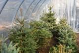 """W Bytomiu po raz kolejny ruszyła akcja """"Daj choince drugie życie"""". Gdzie można oddawać świąteczne drzewka?"""