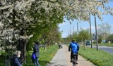 Zachwycająca biel kwitnących wiśni na chełmskim osiedlu zachęca do spacerów. Zobacz zdjęcia