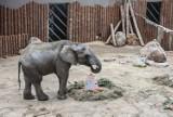 Tak się waży słonie z poznańskiego zoo! Zobacz wideo