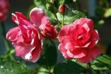 Festiwal róż. Weekend pełen pięknych kwiatów w Ogrodzie Botanicznym