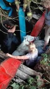 Koń wpadł w dół, uratowali go dzielni strażacy [ZDJĘCIA]