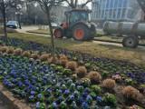 Wiosna już na ulicach. Ile Gorzów wydaje na bratki i inne kwiatki?