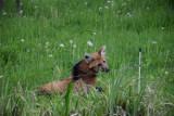 Siatkarki UNI Opole adoptowały wilka grzywiastego. Zobacz niecodzienne zdjęcia z opolskiego zoo