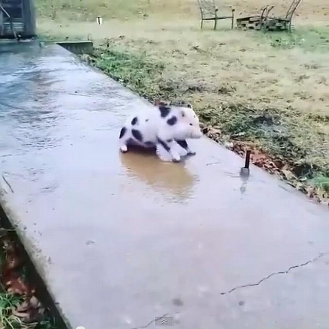 Świnka ślizga się na oblodzonym chodniku