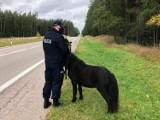 Droga wojewódzka nr 662. Zabłąkany kucyk biegał po ruchliwej trasie Augustów - Suwałki (zdjęcia)