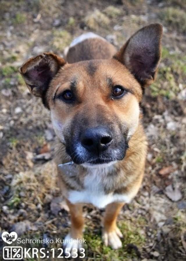 Otis trafił to przyjazny pies średniej wielkości o rudo-wilczastym umaszczeniu z białymi znaczeniami. W schronisku konieczna była amputacja ogona. Ma około rok, Jest odrobaczony, zaszczepiony i zaczipowany.