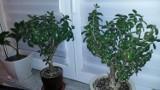 Twój Grubosz gubi liście? Sprawdź, czy jego pielęgnacja jest właściwa. Uprawa i rozmnażanie grubosza, czyli drzewko szczęścia bez tajemnic