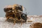 Dzikie pszczoły wyroiły się przy bloku na Retkini. Interwencja strażaków z Łodzi