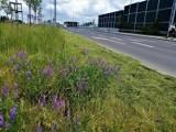 Kwietne łąki będą rosły przy kieleckich ulicach do jesieni. Zobacz, gdzie [ZDJĘCIA]