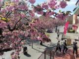 Eksplozja wiosny. Różowo na głównej ulicy Goleniowa