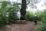 Pożar w leśnym parku Dębina w Krościenku Wyżnym koło Krosna. Palił się pomnikowy dąb Wincenty