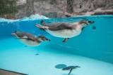 Pierwsze pingwiny w krakowskim zoo [ZDJĘCIA]