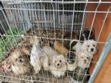 Kolejna pseudohodowla w Kartuskiem zlikwidowana - odebrano 78 psów