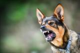 Zaszczep psa! Łodzianie nie szczepią swoich czworonogów przeciwko wściekliźnie
