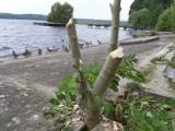 Bobry w parku w Szczecinku! Zaczęły powalać drzewa nad jeziorem Trzesiecko [zdjęcia]