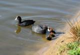 PTAKI. Łyska zwyczajna - ptak wodny z rodziny chruścieli  [Zdjęcia]