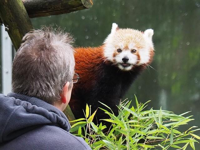 Pokazowe karmienie pand Ofelii i Otella, dyniowy tort i powstająca na żywo ogromna rzeźba pand w wykonaniu Michała Sobczaka to atrakcje jakie pracownicy łódzkiego zoo przygotowali z okazji Światowego Dnia Pandy. Każdy, kto tego dnia odwiedził ogród zoologiczny dołożył cegiełkę (20 procent ceny biletu) dla organizacji chroniącej piękne i zagrożone ssaki pandy małe Red Panda Network.  CZYTAJ DALEJ >>> .