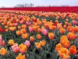 Niesamowity ogród tulipanowy w Cedrach Wielkich! Można zwiedzać, rwać i kupować