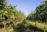 Tarnów ma szansę stać się małopolską stolicą winiarstwa. Na początek przy Parku Sanguszków ma zostać odtworzona winnica