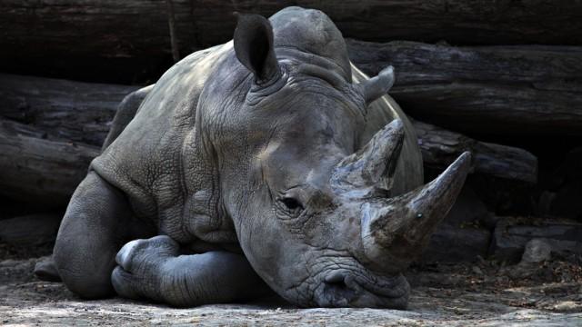 W ciągu ostatnich 50 lat wyginęło 60 proc. dzikich zwierząt - te porażające dane przytoczył raport Living Planet, opublikowany przez World Wildlife Fund w 2018 r. Liczba wymierających osobników rośnie w zastraszającym tempie, co niestety doprowadziło do unicestwienia wielu gatunków. Niektóre odeszły do nas dosłownie przed chwilą. Jakie?   Zobacz na kolejnych zdjęciach >>>
