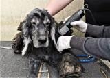 Pies odebrany w Budnie pod troskliwą opieką TOZ Goleniów. Czapi szuka  nowego domu