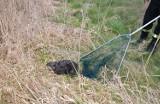 Strażacy z Brodów uratowali bobra, który wpadł do studzienki. Zobaczcie zdjęcia z tej akcji