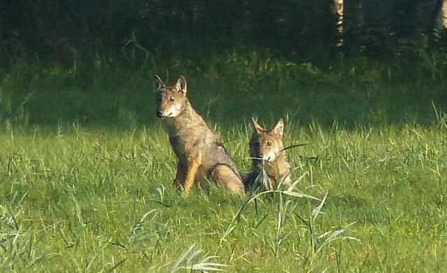 Wilki na polu w okolicach Stepnicy