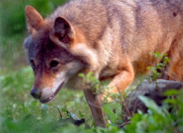 Wilków w pomorskich lasach z roku na rok przybywa