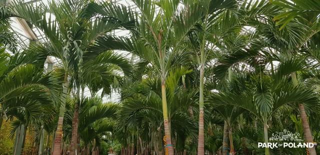 700 żywych palm czeka na transport do Polski. Wylądują w gigantycznym parku wodnym pod Warszawą