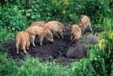 Dziki w Toruniu. Ile już odstrzelono? Sprawdź najnowsze dane