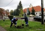 Staszów będzie zielony. Zasadzono mnóstwo drzewek - Zobacz gdzie (ZDJĘCIA)